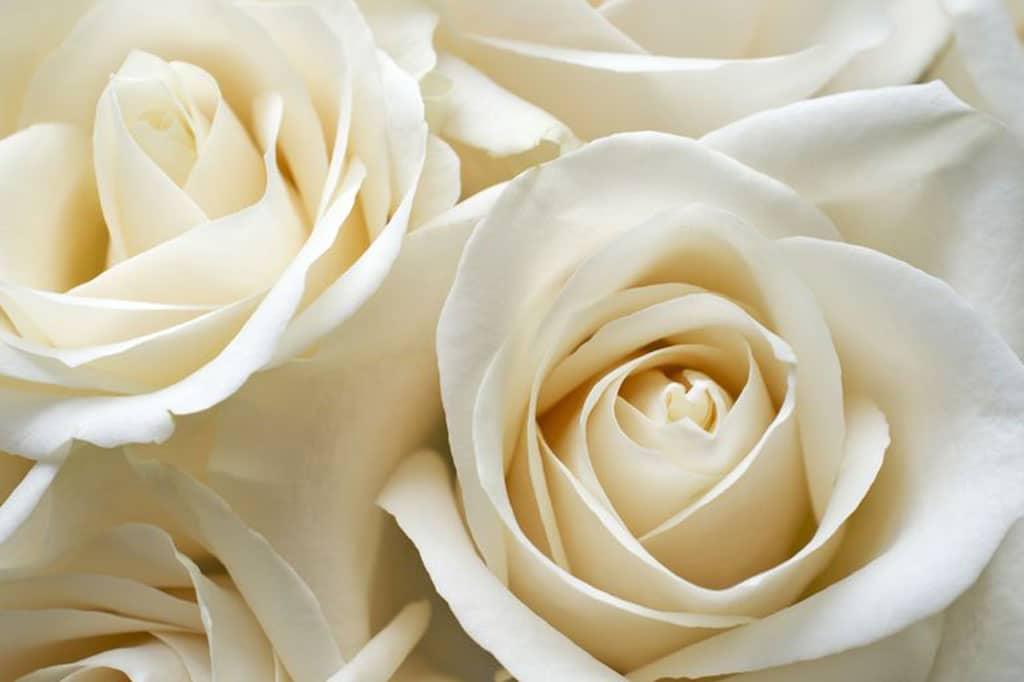 Rose Bianche – Gambo Lungo